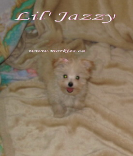 Playful teacup Morkie Jazzy is sold to Alex and Carol. http://www.morkies.ca