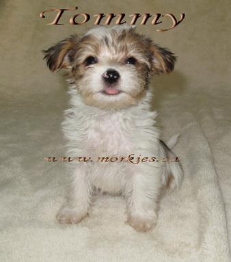 Cute White & Gold Morkie male puppy is AVAILABLE at www.morkie.ca