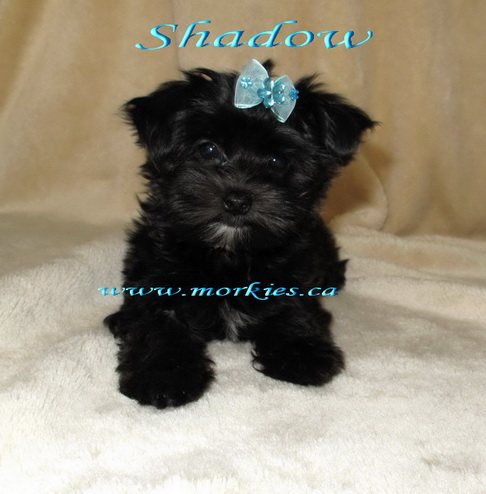 Beautiful Black Morkie, Shadow is adopted to a family from Toronto. http://www.morkies.ca