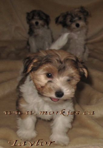 Gorgeous Morkie puppy adopted to Sheron and Sim at http://www.morkies.ca