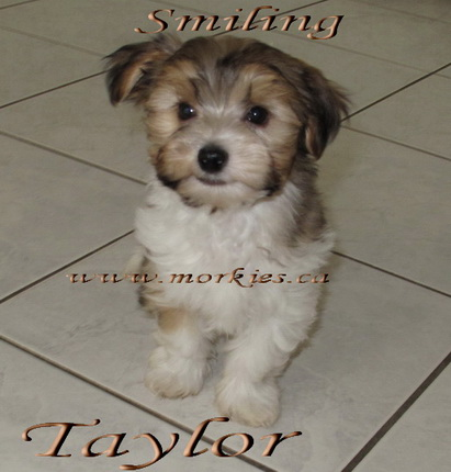 Gorgeous Morkie Taylor is for sale http://www.morkies.ca