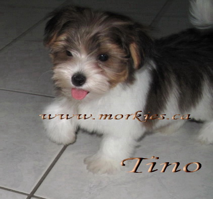 Tino Morkie feels like a Mink! Adopted to Jennifer and Leo. Amazing Morkies from http://www.morkies.ca